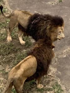 ライオンの写真 - 撮影者:暮らしの救急箱